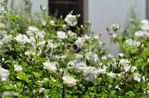 Beautiful rose shrub, Iceberg, in front of house.