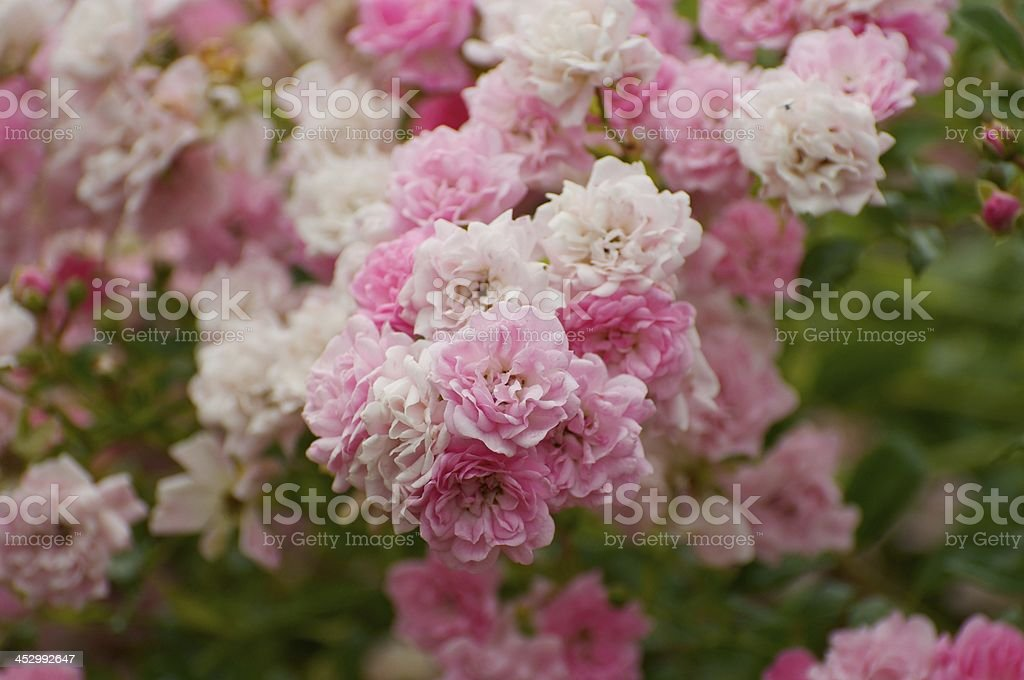 Rose Garden royalty-free stock photo