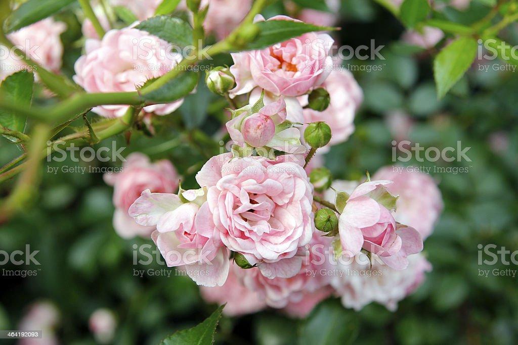 Rose Garden royalty-free stock photo