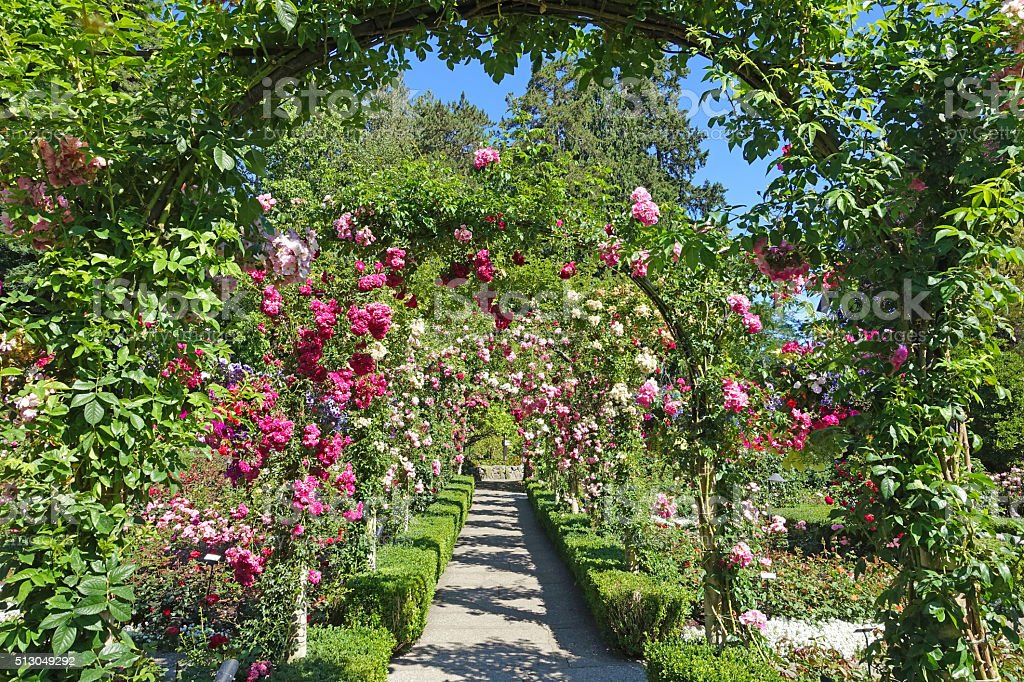 rose garden – Foto