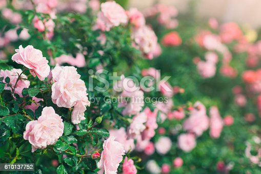 Rose bushes with pink flowers in bloom.