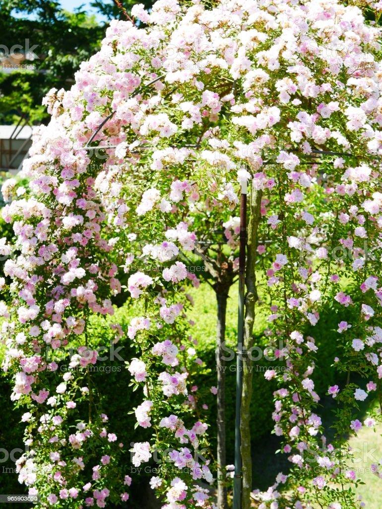 Rose garden - Royalty-free Ao Ar Livre Foto de stock