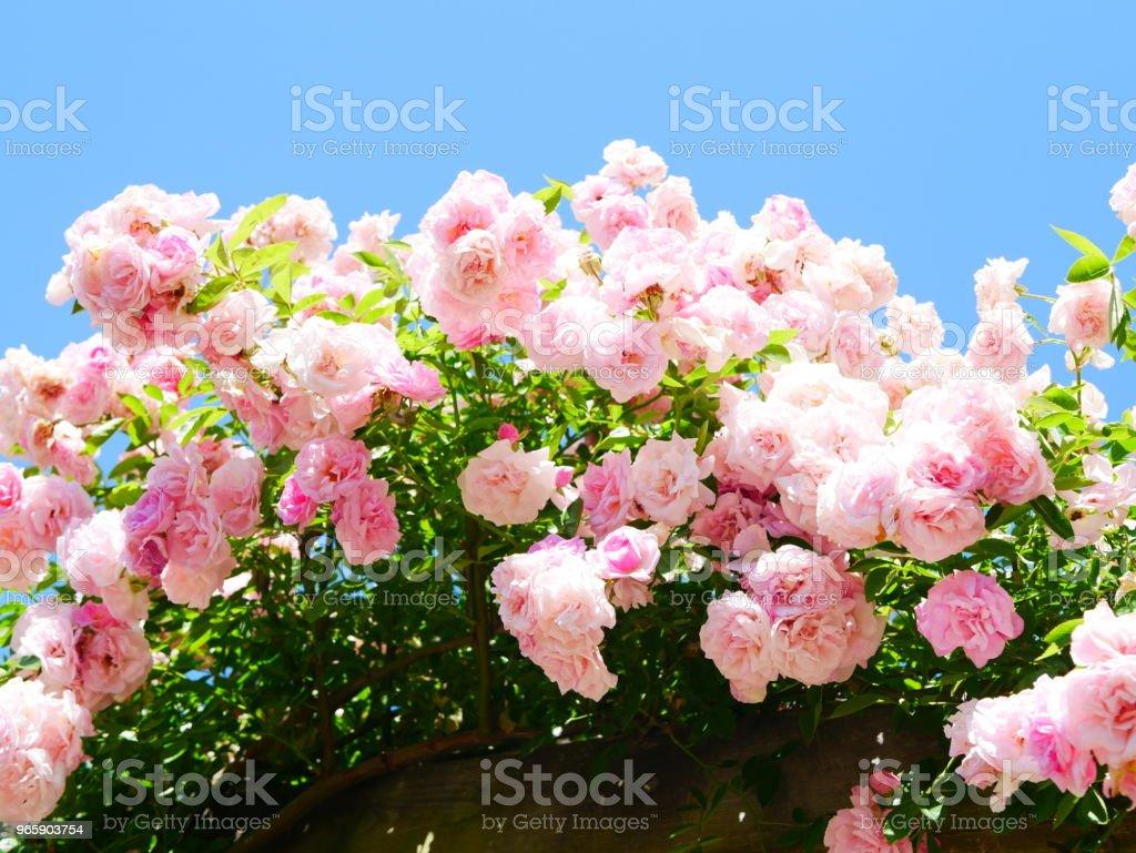 Rose garden - Royalty-free Bala Stock Photo