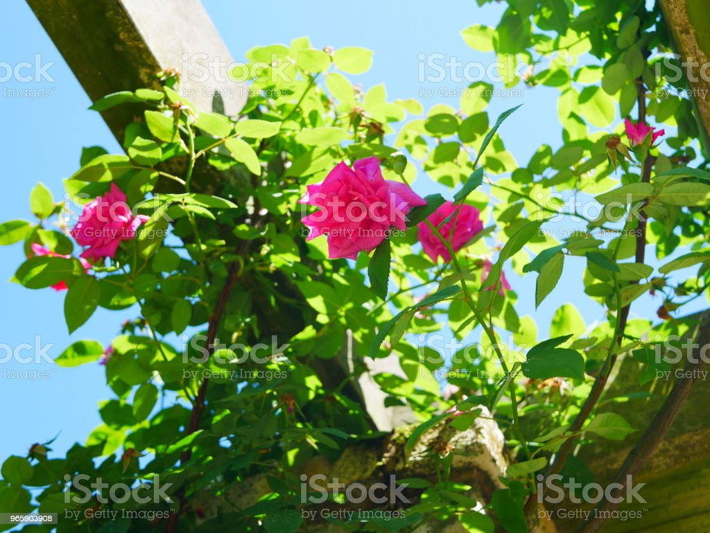Rose garden - Royalty-free Bala Stock Photo