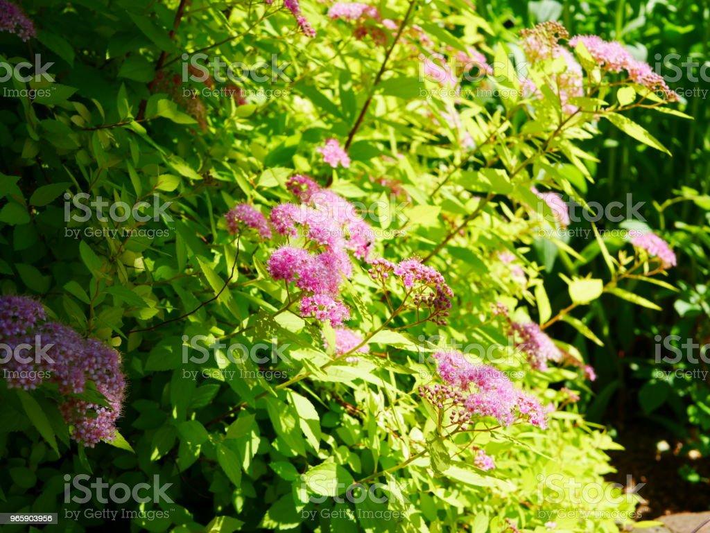 Rozentuin - Royalty-free Beschrijvende kleur Stockfoto