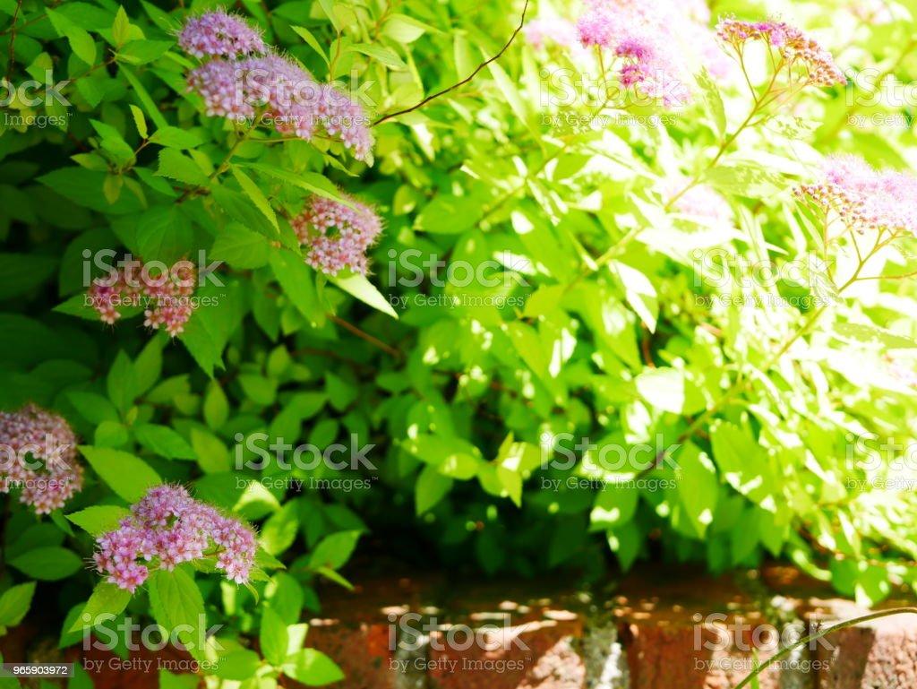 Rozentuin - Royalty-free Bakstenen muur Stockfoto