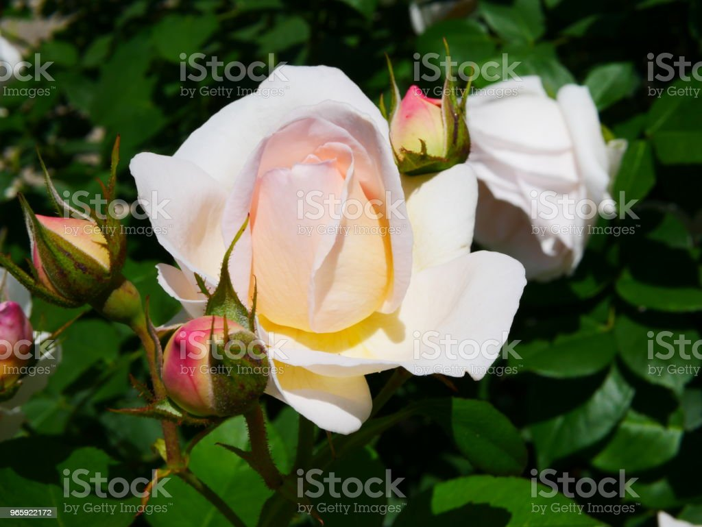 Rose garden - Royalty-free Beauty In Nature Stock Photo