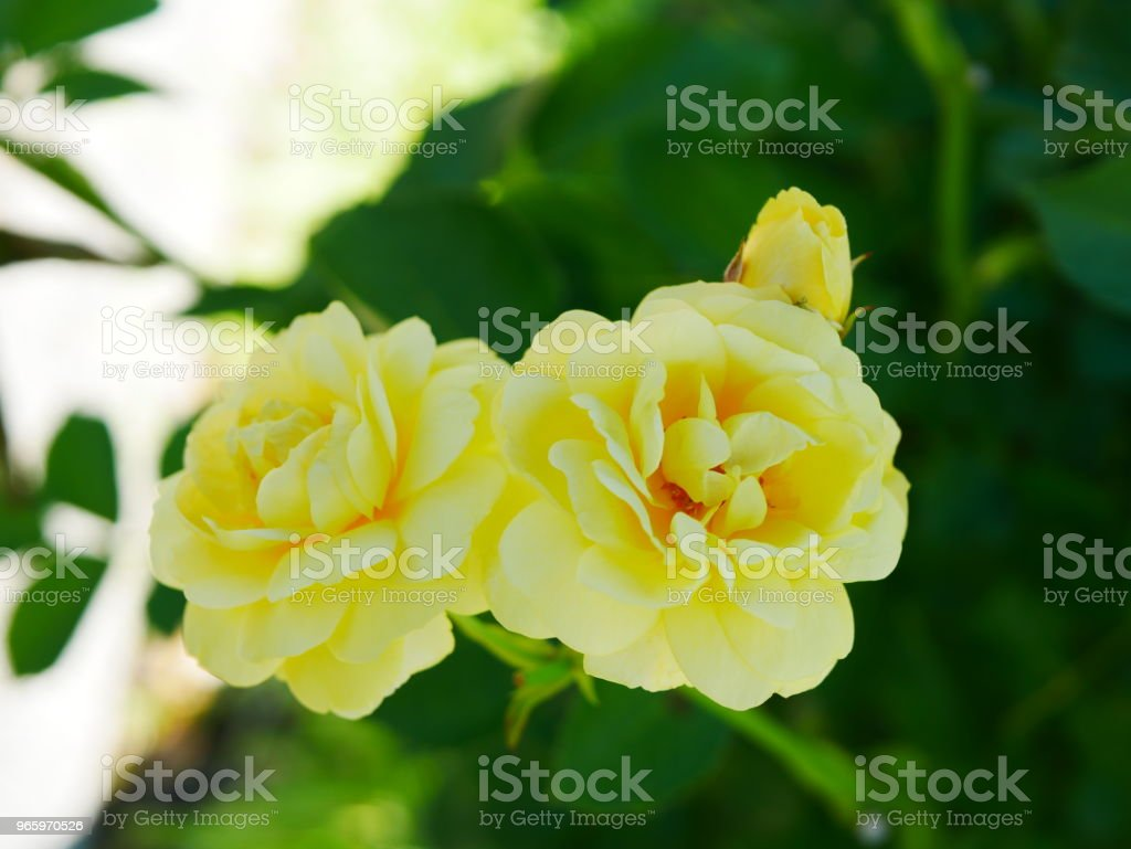 Rose garden - Royalty-free Beauty Stock Photo