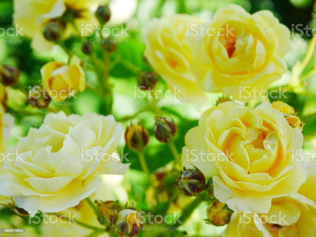 Rose garden - Lizenzfrei Beschaulichkeit Stock-Foto