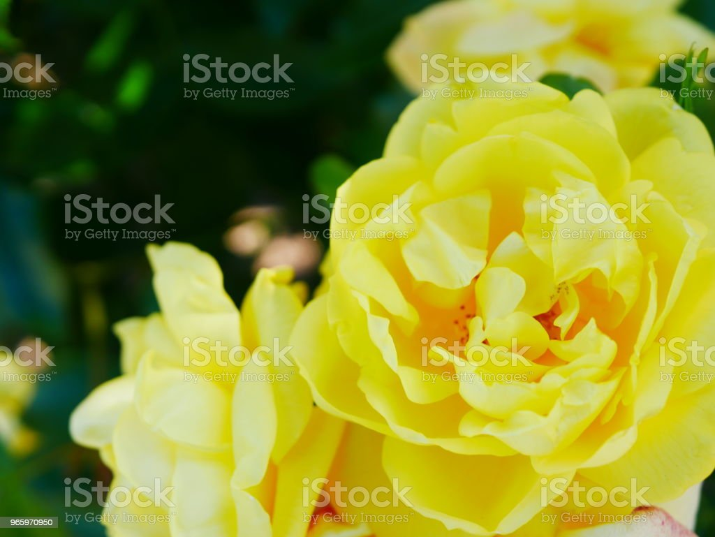 Rose garden - Lizenzfrei Baum Stock-Foto