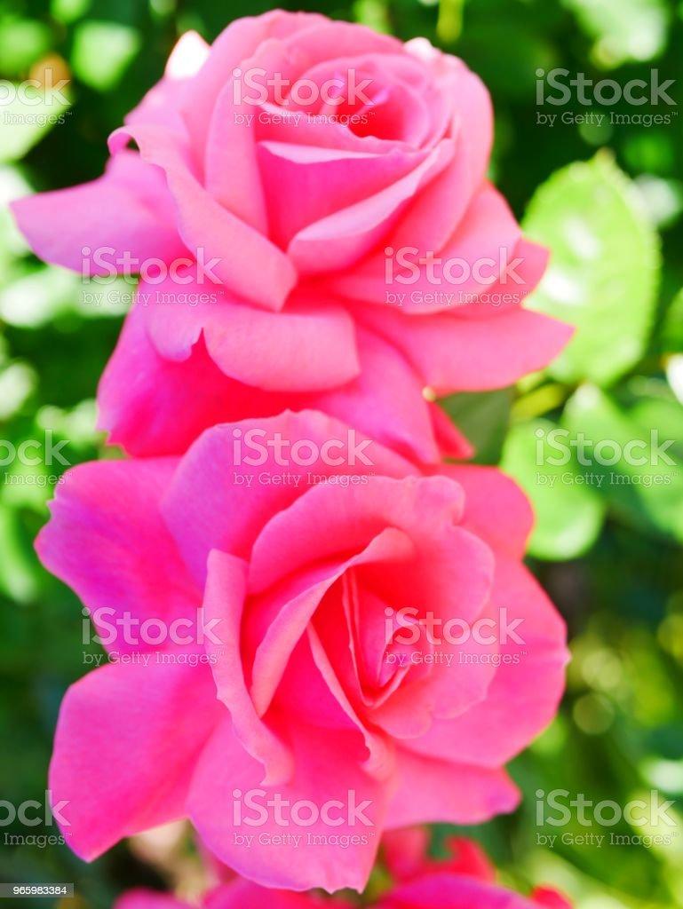 Rose garden - Стоковые фото Без людей роялти-фри
