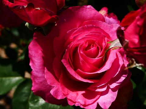 Rosenträdgården-foton och fler bilder på Blomkorg - Blomdel