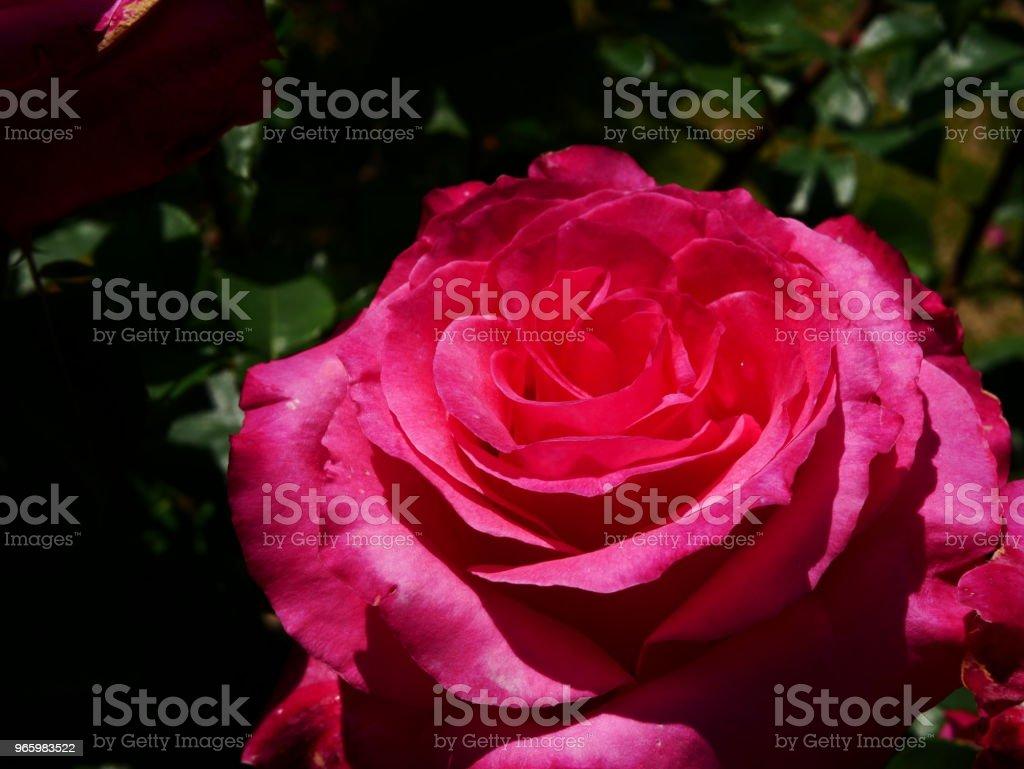 Rosenträdgården - Royaltyfri Blomkorg - Blomdel Bildbanksbilder