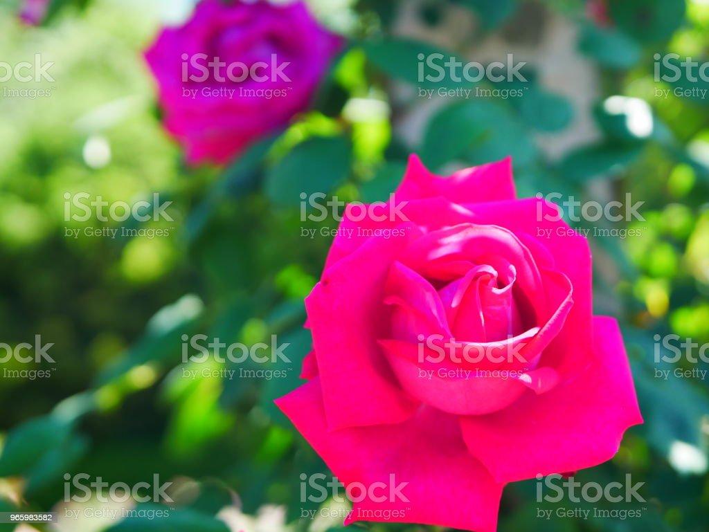 Rose garden Rose garden on a sunny day Beauty Stock Photo