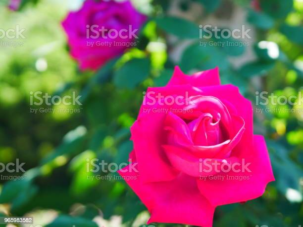 Rose Garden Stock Photo - Download Image Now