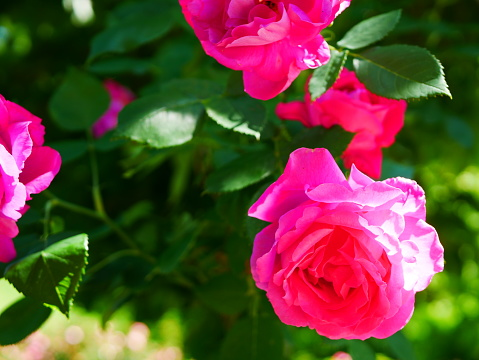 Rosenträdgården-foton och fler bilder på Bildskärpa