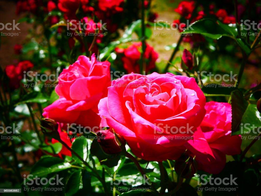 Rosenträdgården - Royaltyfri Bildskärpa Bildbanksbilder