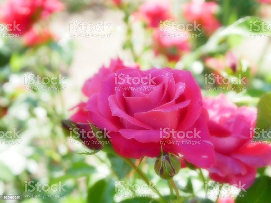 Rozentuin - Royalty-free Blad Stockfoto