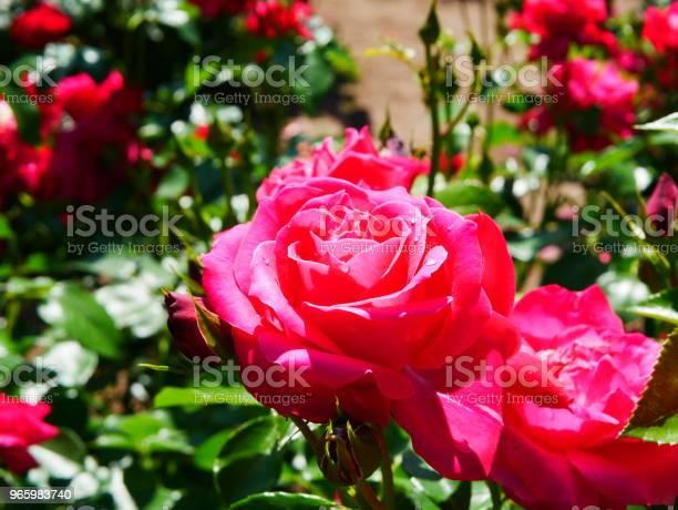 Rose Garden Stockfoto und mehr Bilder von Bildschärfe