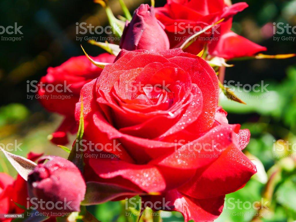 Rose garden - Lizenzfrei Blume Stock-Foto