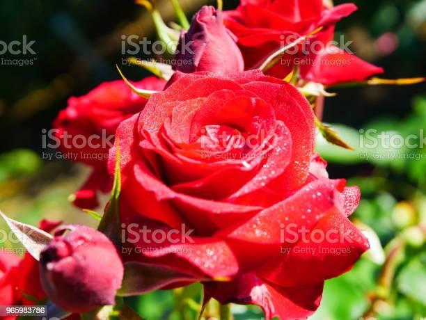 Rose Garden Stockfoto und mehr Bilder von Blume