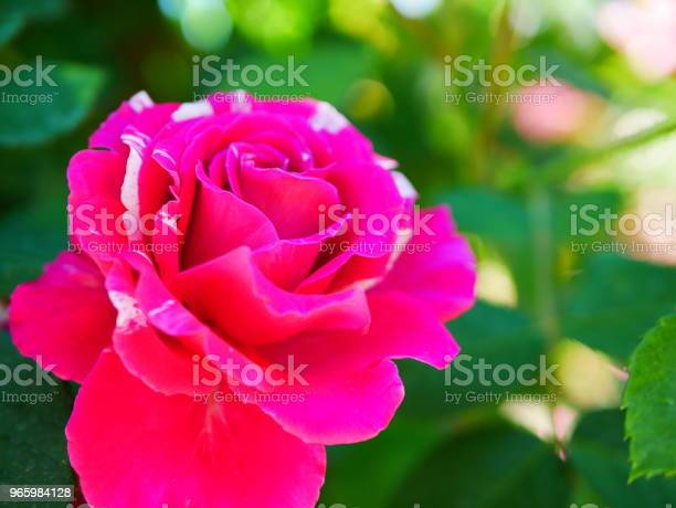 Rose Garden Stockfoto und mehr Bilder von Blatt - Pflanzenbestandteile