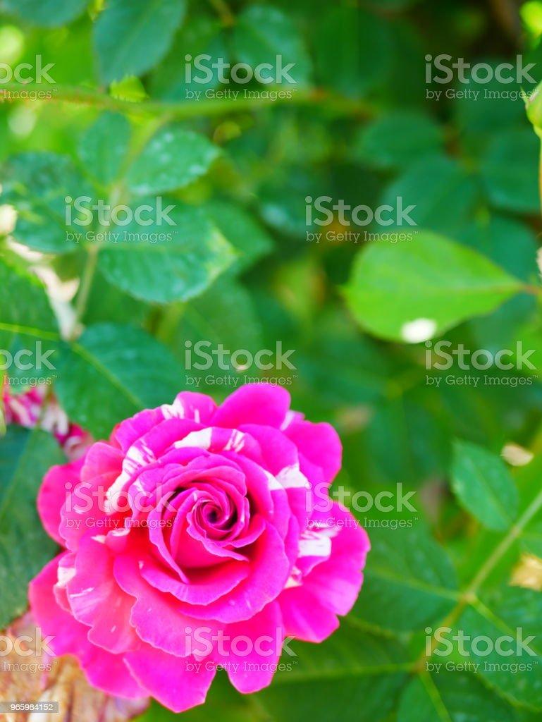 Rosenträdgården - Royaltyfri Beskrivande färg Bildbanksbilder