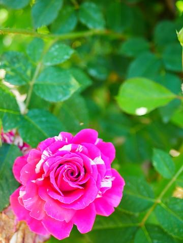 Rosenträdgården-foton och fler bilder på Beskrivande färg
