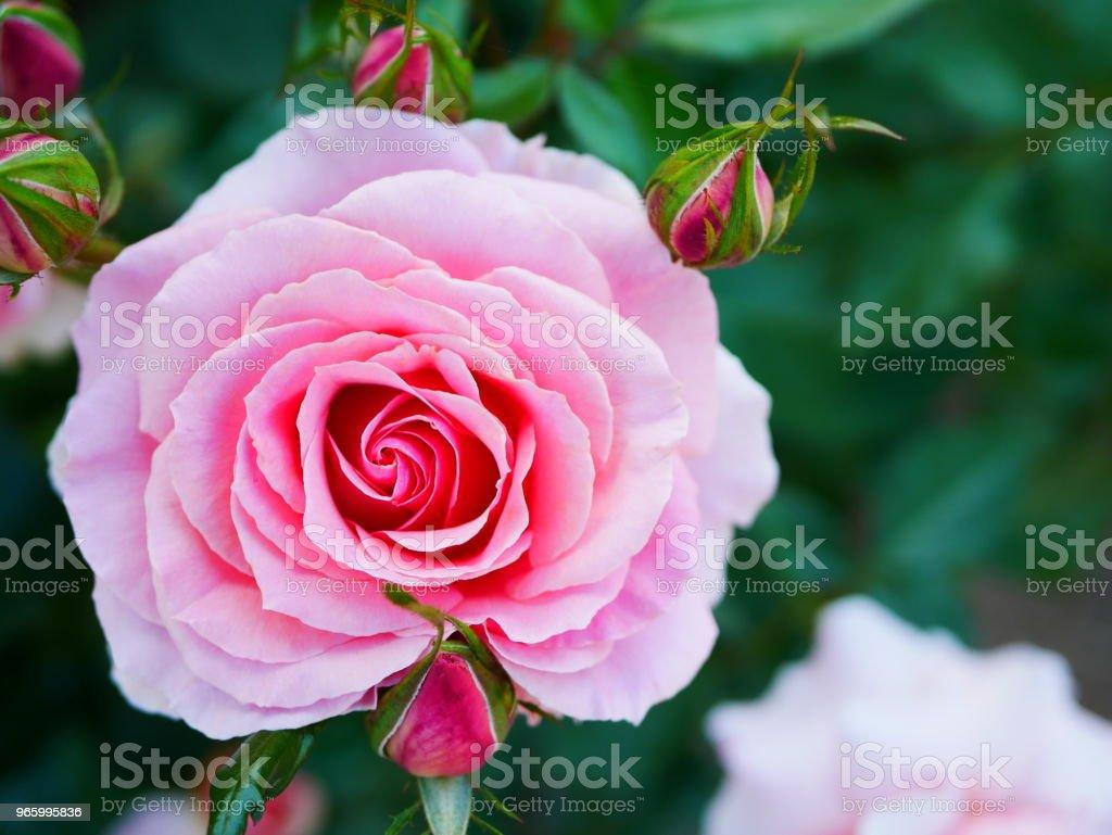 Rose garden - Lizenzfrei Blatt - Pflanzenbestandteile Stock-Foto
