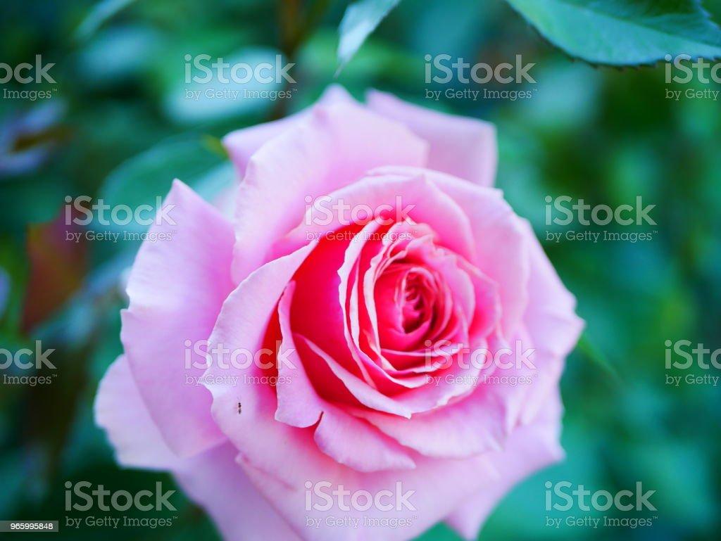 Rose garden - Royalty-free Beauty Stock Photo