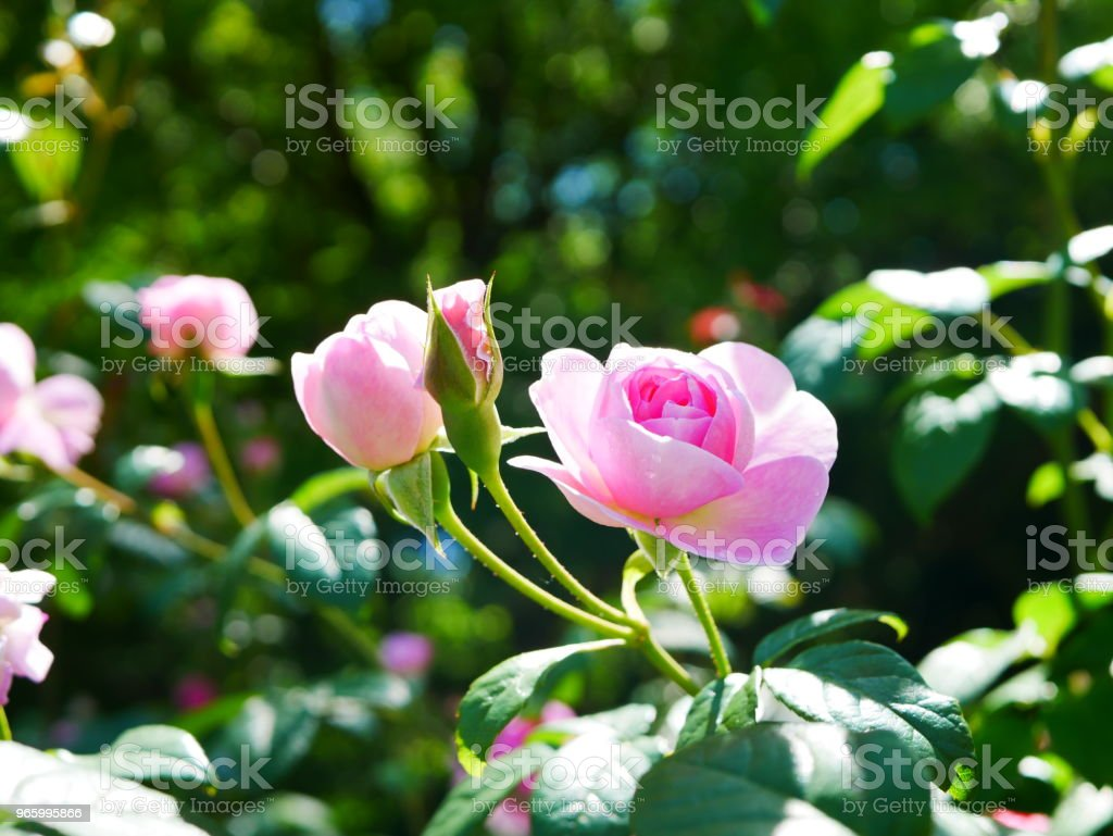 Rose garden - Lizenzfrei Ast - Pflanzenbestandteil Stock-Foto