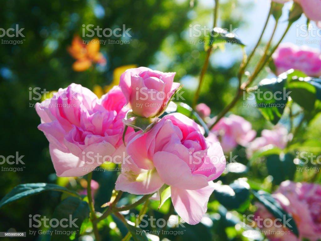 Rosenträdgården - Royaltyfri Alla hjärtans dag-kort Bildbanksbilder