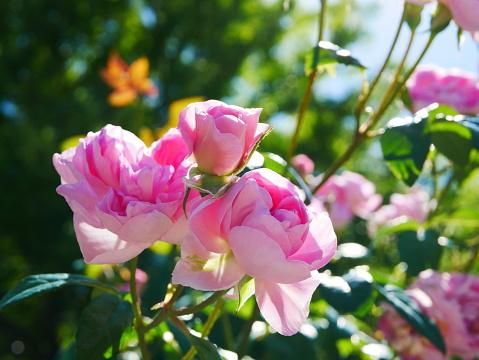 Rose Garden Stockfoto und mehr Bilder von Ast - Pflanzenbestandteil