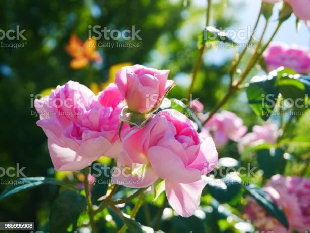 Rosenträdgården-foton och fler bilder på Alla hjärtans dag-kort