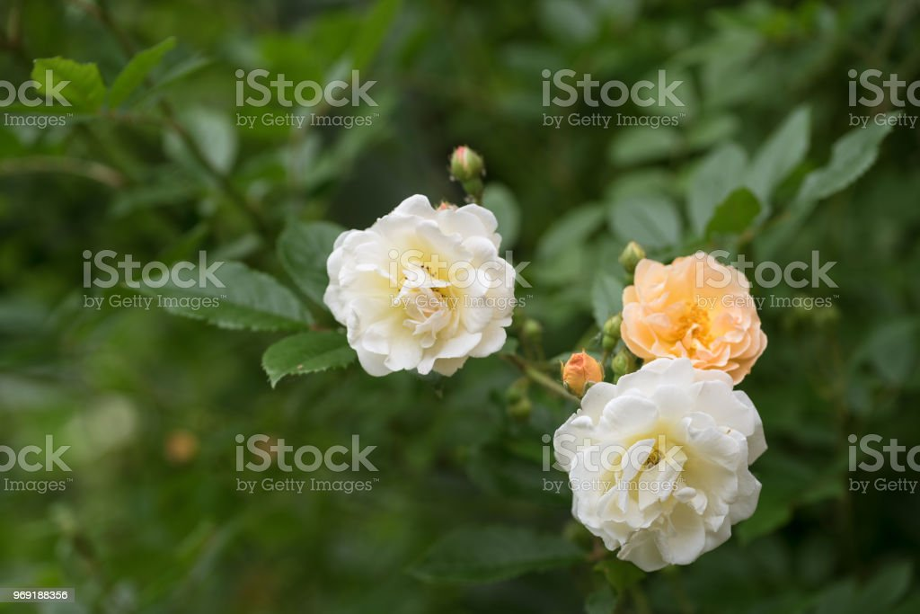 rose 'Ghislaine de Féligonde', a rambling or climbing rose with clusters of small flowers in salmon pink, apricot and yellow, bred in France by Turbat, copy space stock photo