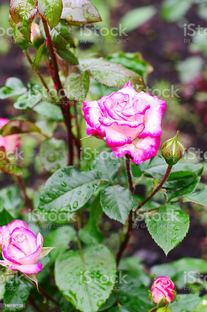 Rose Handel (Largeflowered Climber) royalty-free stock photo