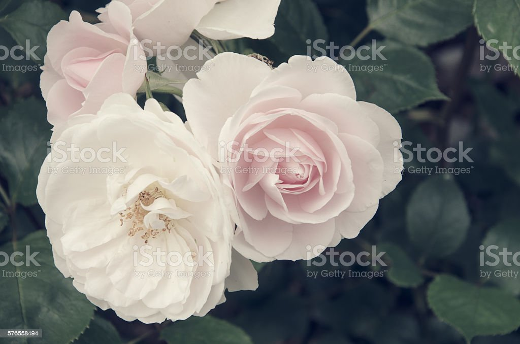 Rose head background with copy space stock photo