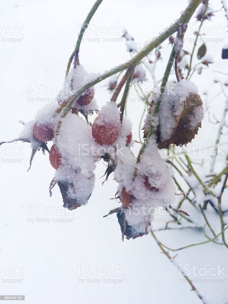 Rose hip berries covered with snow stock photo