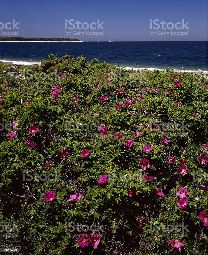 rose hip bushes royalty-free stock photo