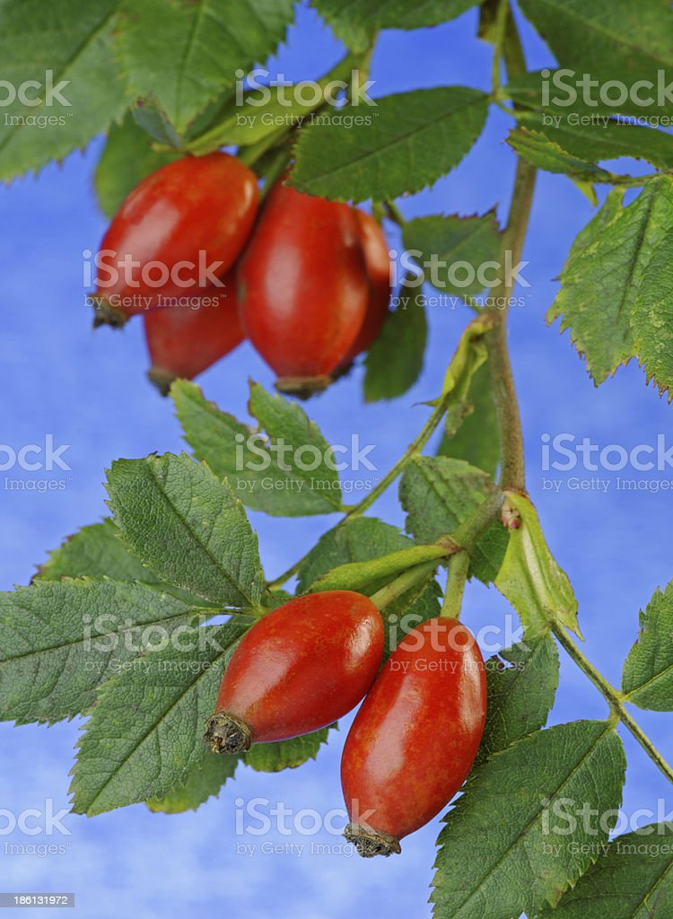 Rose Hip Close Up royalty-free stock photo