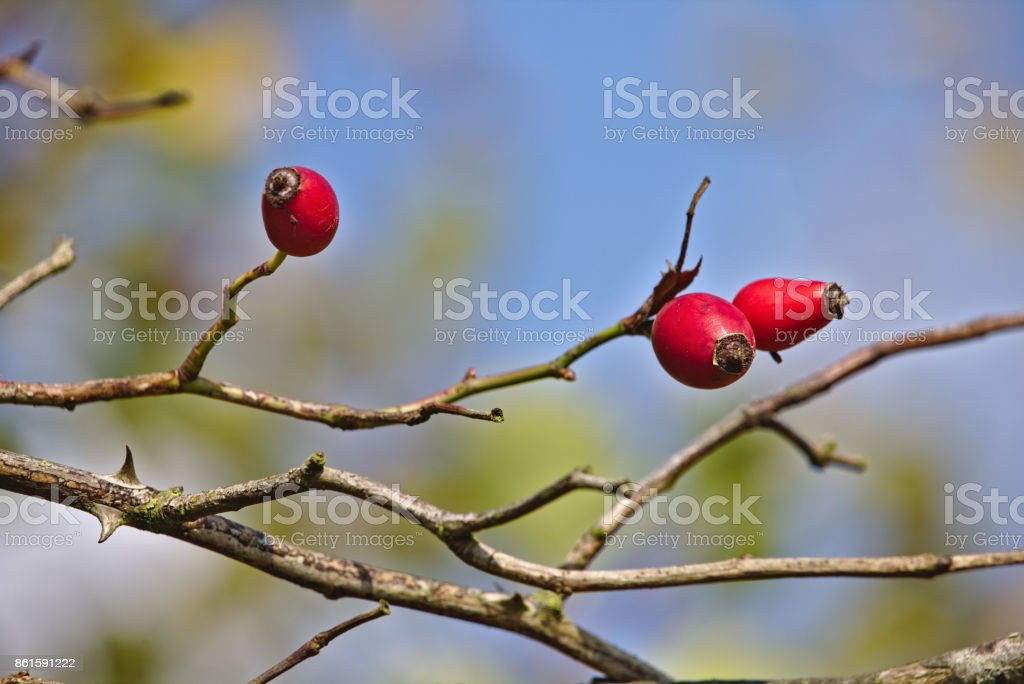 Rose hip of the dog rose with clear blue sky in the background stock photo
