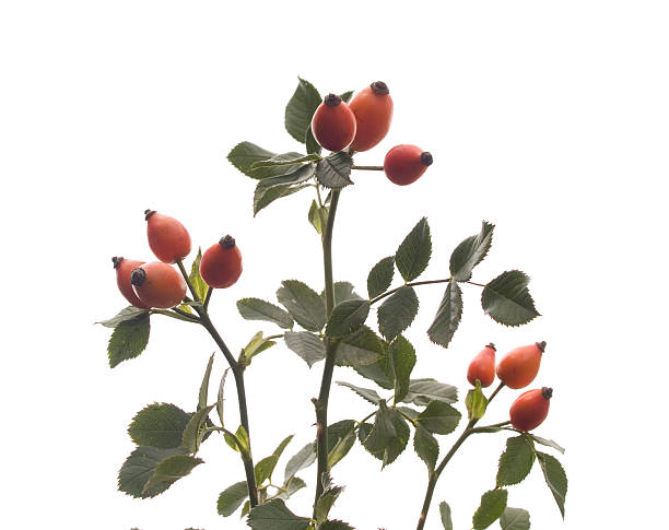 rose hip brier twig wild rose stock pictures, royalty-free photos & images