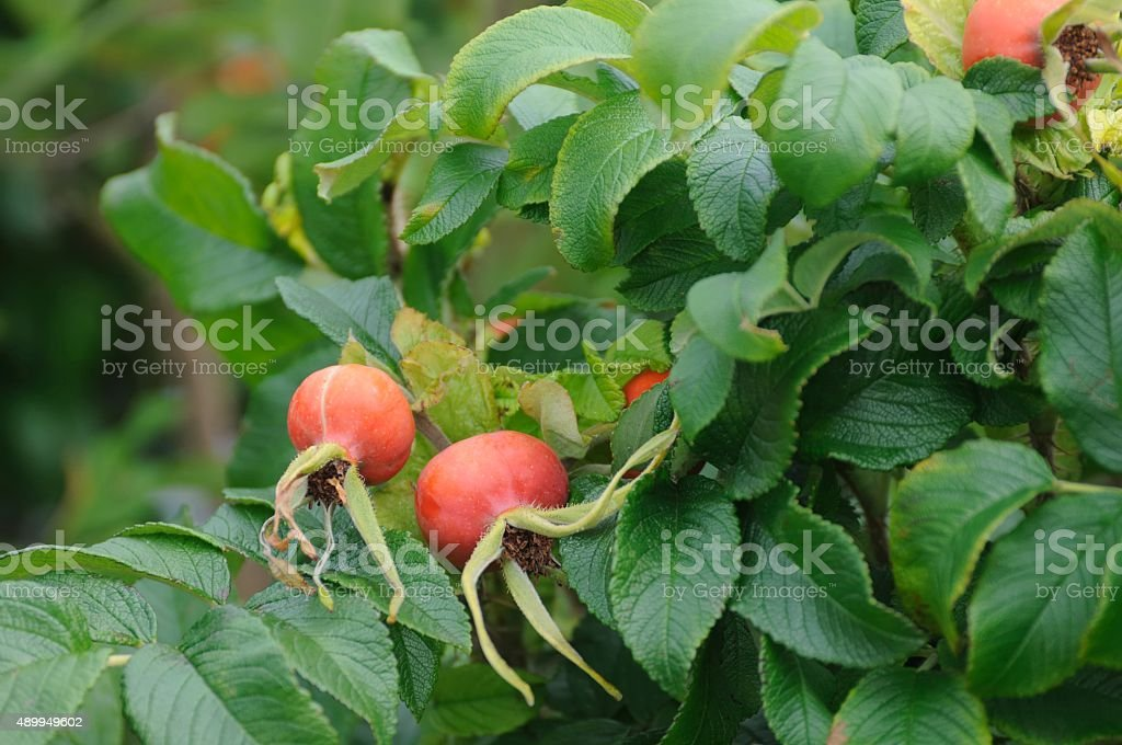 rose hip stock photo