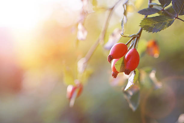 Rose hip  Branch of  ripe rose hip in sunlight. wild rose stock pictures, royalty-free photos & images