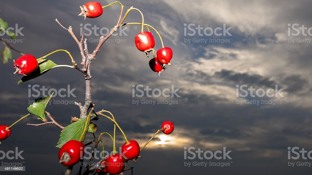Rose hips in front of the dark sky stock photo