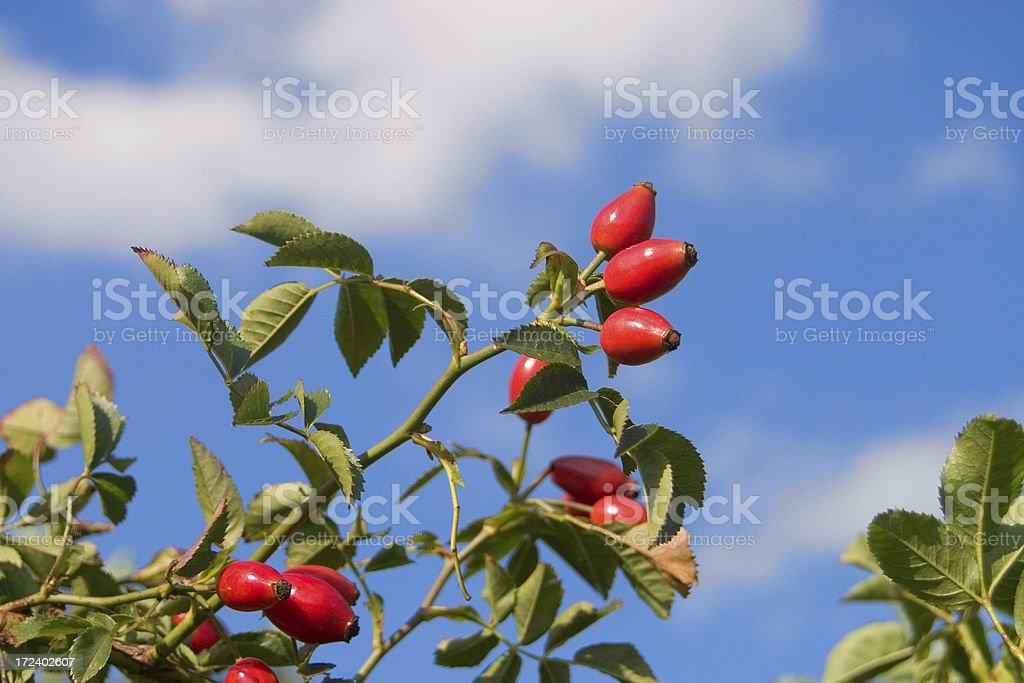 rose hips royalty-free stock photo