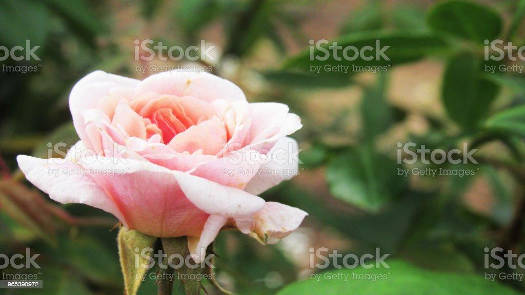 Ros'in einem Garten - Lizenzfrei Baumblüte Stock-Foto