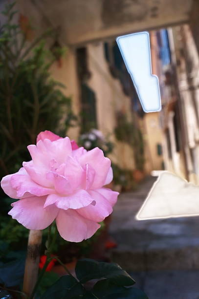 Rose in a typical street of Bolgheri - foto stock