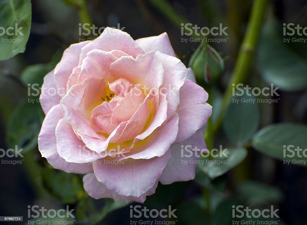 Rose in A World of Thorns royalty-free stock photo