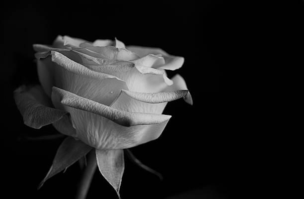 Rose in black and white stock photo
